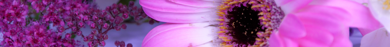 Gerbera roz